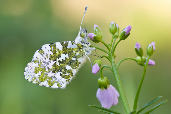 Aurorafalter, Anthocharis cardamines