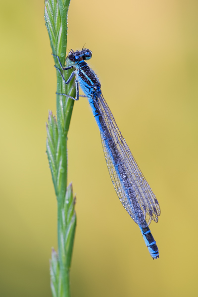 Helm-Azurjungfer, Coenagrion mercuriale