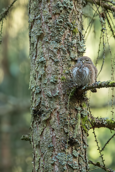 Sperlingskauz, Glaucidium passerinum