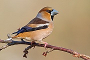 Kernbeisser, Coccothraustes coccothraustes