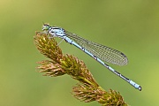 Speer-Azurjungfer, Coenagrion hastulatum
